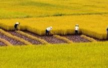 Chuyển nhượng đất trồng lúa nước